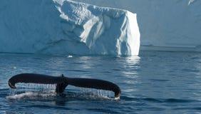 Humpback whales feeding among giant icebergs, Ilulissat, Greenla Royalty Free Stock Images