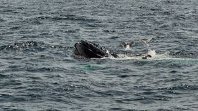 Humpback Whales Feeding. Humbpack whale feeding off Cape Cod Massachusetts, USA royalty free stock images