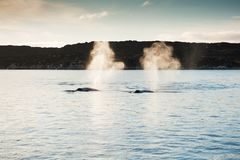 Humpback whales in Greenland. Two humpback whales in Atlantic ocean, western Greenland Stock Photo
