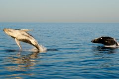Humpback Whales. In Exmouth - Australia stock photography
