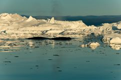 Humpback whales among the icebergs, Ilulissat icefjord, Disko bay, west Greenland royalty free stock image
