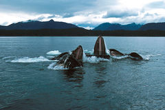 Humpback whales lunge feeding (Megaptera novaeangliae), Alaska,. A group of humpback whales surface with mouths wide open in this shot of the amazing event royalty free stock photo