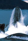 Humpback whales lunge feeding (Megaptera novaeangliae), Alaska, Royalty Free Stock Photography