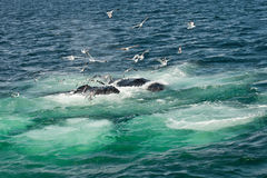 Humpback Whales (Megaptera novaeangliae) Stock Photo