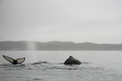 Humpback whales, Megaptera novaeangliae Stock Photos