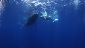 Humpback whales mother and calf in blue sea water