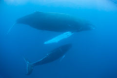 Humpback Whales. Mother and calf Humpback whales swim in the Caribbean Sea. These baleen cetaceans will soon migrate northward to the cold, plankton-rich waters stock photos