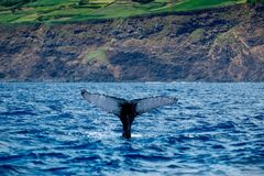 A humpback whale diving close to volcanic cliffs royalty free stock photography
