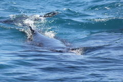 Humpback Whales at play Hervey Bay 1 Stock Photography