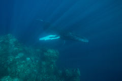 Humpback Whales and Reef Stock Image