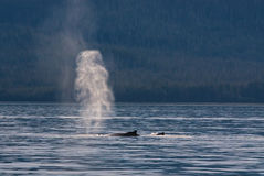 Humpback Whales Spouting. Two humpback whales, a mother and calf spout in the waters of the Auke Sound in Alaska royalty free stock photos
