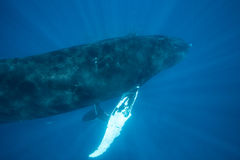 Humpback Whales in Sunlit Water Royalty Free Stock Image