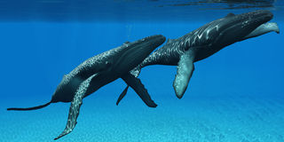 Humpback Whales Surfacing. Two Humpback whales come to the surface of ocean waters to breath Royalty Free Stock Photography