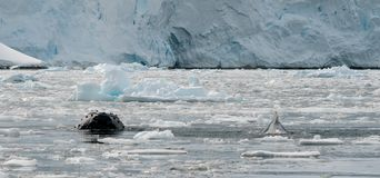 Humpback Whales surfacing through broken ice, Antarctic Peninsula stock photography