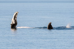 Humpback whales swimming in Australia Royalty Free Stock Photo
