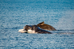 Humpback whales swimming in Australia Royalty Free Stock Photos