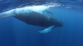 Humpback Whales Swimming at the Surface in the Caribbean Sea stock video footage
