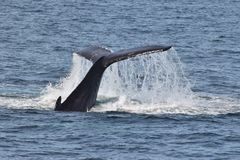 Humpback whales  with tail  slapping water Royalty Free Stock Image