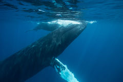 Humpback Whales Underwater Stock Photography