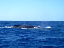 Humpback whales, Vava'u, Tonga Royalty Free Stock Photography