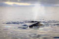 Humpback whales. Humpback whale blowing water in the Skjálfandi Bay in Northern Iceland Royalty Free Stock Image