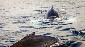 Humpback whales. Humpback whale in the Skjálfandi Bay in Northern Iceland Stock Image