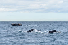 Humpback whales in wildlife. Two humpback whales in wildlife swimming in the ocean and jumping with tail up during seasonal migration, a boat with people at the Stock Photography