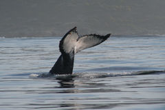 Humpback White Tail. The tail fluke of a diving Humpback whale Stock Photography