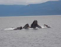 Humpback wielorybów bąbla sieci połów obrazy stock