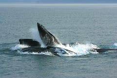 Humpback wielorybów Karmić zdjęcia royalty free