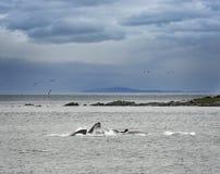 Humpback wielorybów Karmić zdjęcie royalty free
