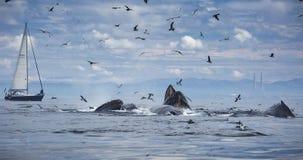 Humpback wielorybów Lunge karmienie zdjęcia stock
