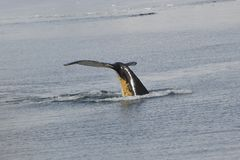 Humpback wieloryb Fotografia Royalty Free