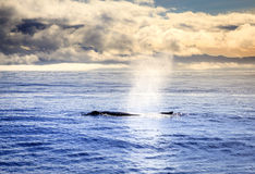Humpback wieloryb obrazy royalty free