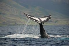 Humpback wieloryb Obraz Stock