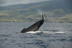 Humpback wieloryb Fotografia Stock
