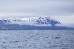 Humpback wieloryb zdjęcie stock