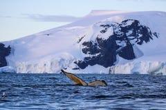 Humpback wieloryb, Antarktyczny półwysep Obrazy Royalty Free