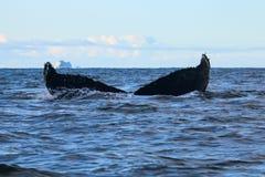 Humpback wieloryb, Antarktyczny półwysep Obrazy Stock