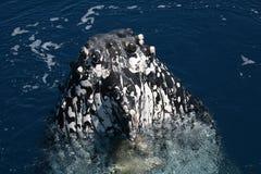 Humpback Wieloryb Australia obraz royalty free