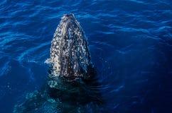 Humpback wieloryb, Australia zdjęcie stock