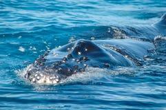 Humpback wieloryb, Australia (Megaptera novaeangliae) Fotografia Stock