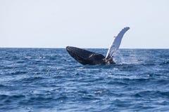 Humpback wieloryb Baraszkuje w Karaiby zdjęcia royalty free