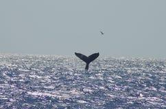 Humpback wieloryb blisko Maui Zdjęcia Royalty Free