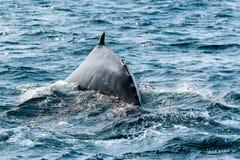 Humpback wieloryb, Dalvik Icelan fotografia royalty free