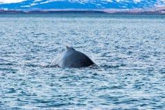 Humpback wieloryb, Dalvik Icelan zdjęcia stock