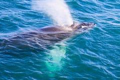 Humpback wieloryb dostaje przygotowywający nurkować w Iceland zdjęcia royalty free