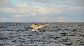 Humpback wieloryb, Fałszywa zatoka, Południowa Afryka Fotografia Stock