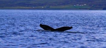 Humpback wieloryb, Iceland fotografia stock