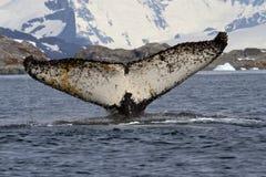 Humpback wieloryb który nurkuje w Antarktycznego nawadnia z rais Obrazy Stock